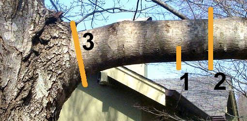 where to cut a tree branch