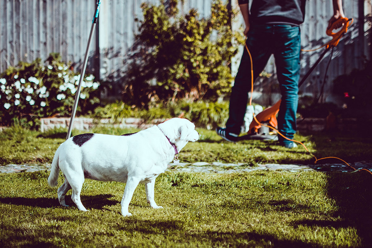 dog standing in a yard while man does lawn maintenance